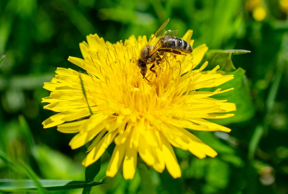 Bee, Dandelion, Insect, Animal, Hymenoptera, Blossom