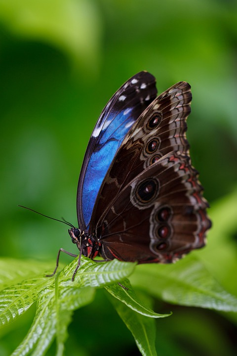 Butterfly, Insect, Animal, Blue Morpho