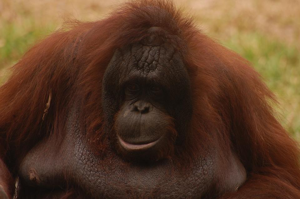 Animal, Monkey, Orang Utan, Zoo, Jungle, Borneo