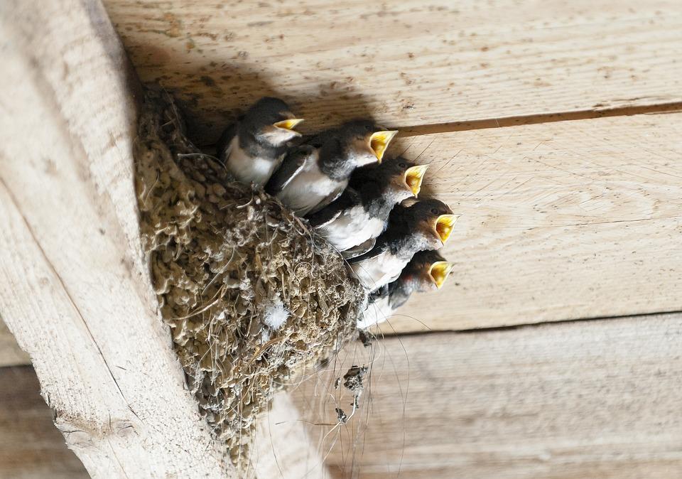 Swallows, Bird's Nest, Animal, Bird, Nest, Breed