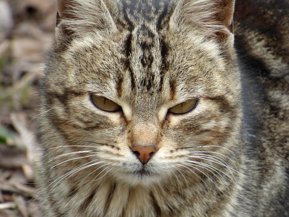 Cat, Cat Face, Pet, Animal, Brindle