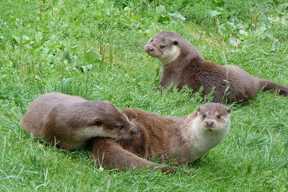 Animal, Otters, British, Wildlife, Centre, Playful
