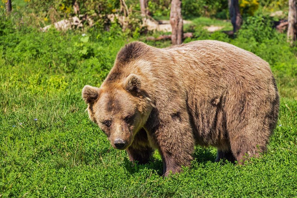 Bear, Brown Bear, Animal, Teddy Bear, Mammal, Beast