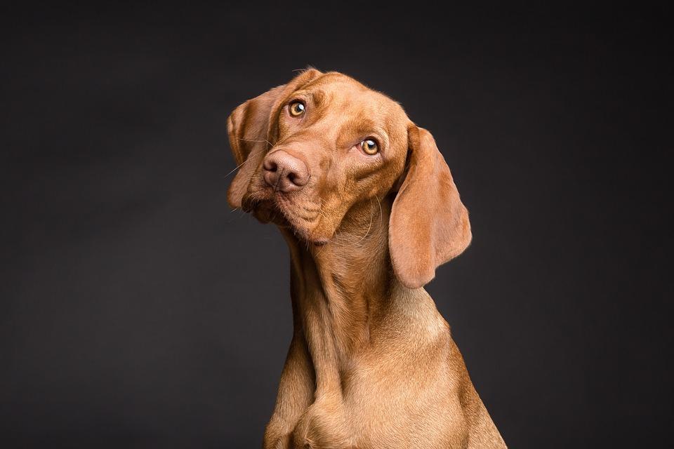 Dog, Animal, Portrait, Pet, Brown, Dog's Eyes, Beagle