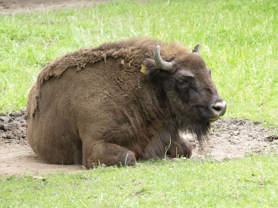 Wisent, Buffalo, Animal, Mammal, Pasture