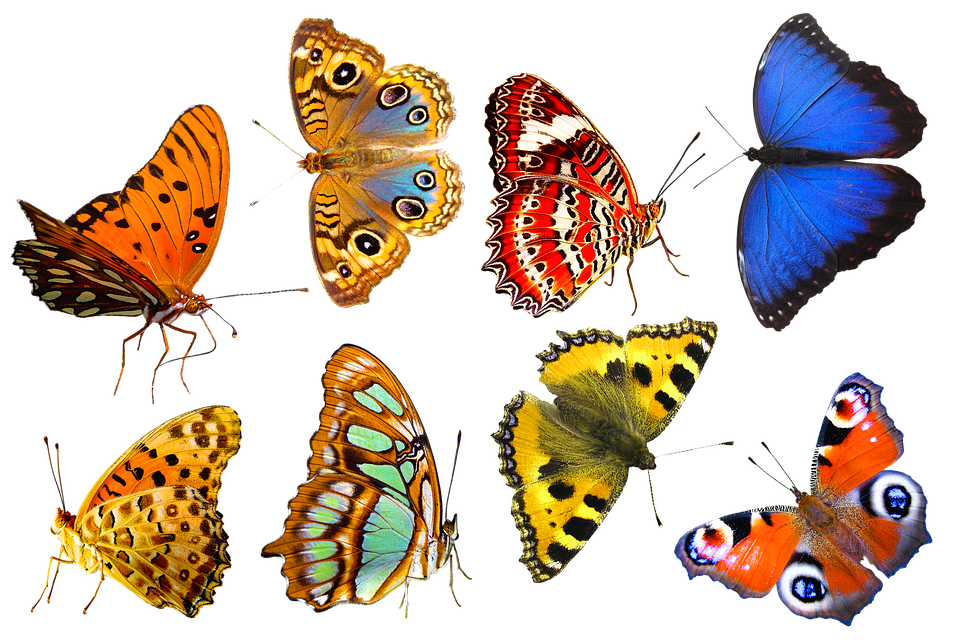 Butterflies, Insects, Bugs, Wings, Antennas, Animal
