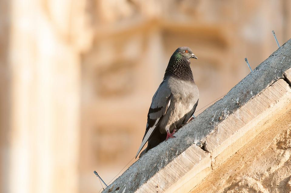 Pigeon, Dove, Bird, Building, Architecture, Animal