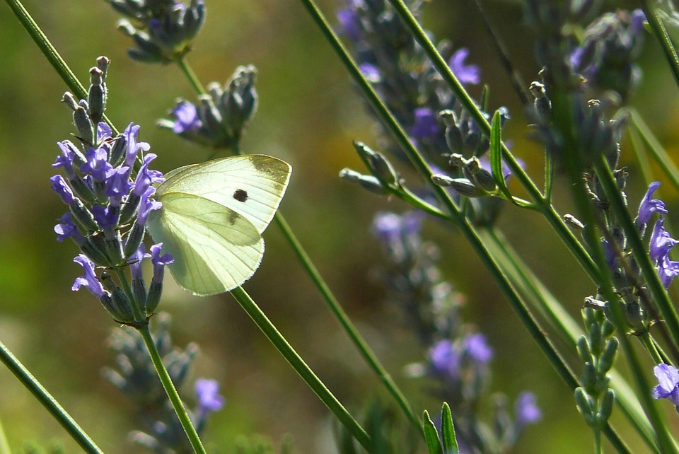 Butterfly, Animal, Insect, Butterflies, Fauna, Nature