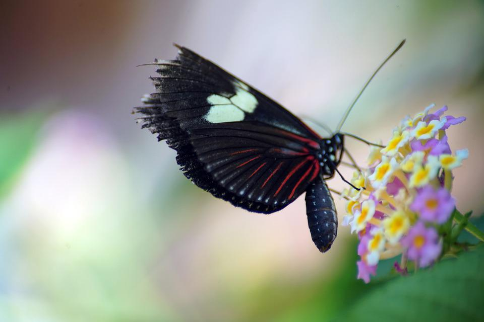 Butterfly, Flower, Insect, Animal