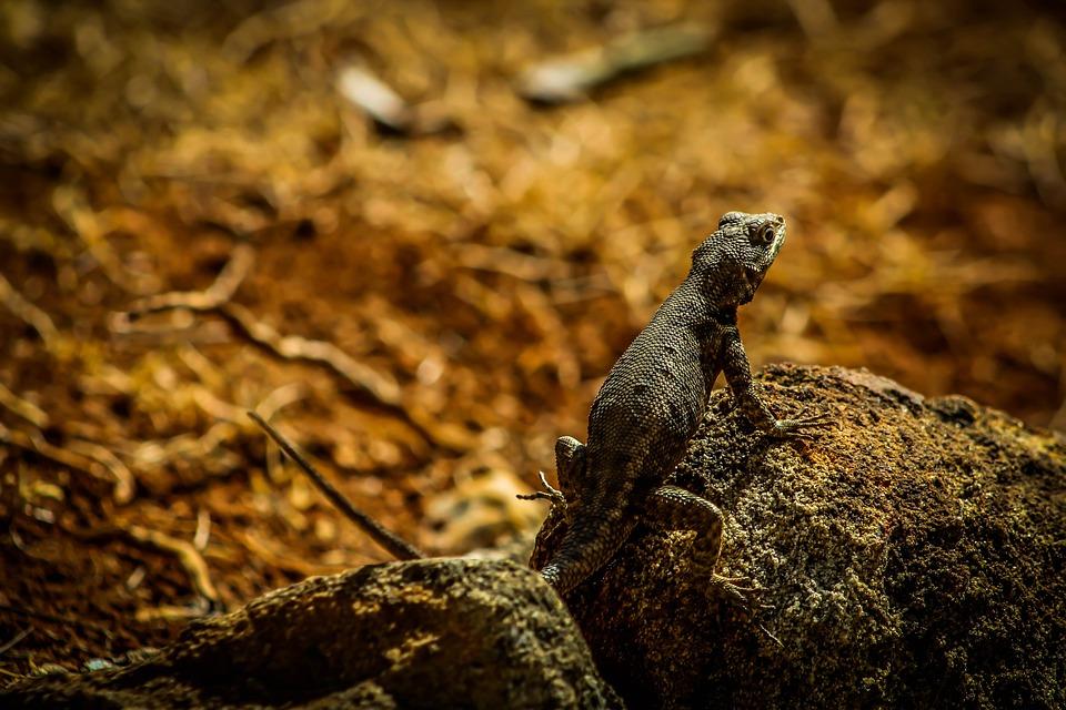 Calango, Lizard, Animal, Reptile, Chameleon, Animals
