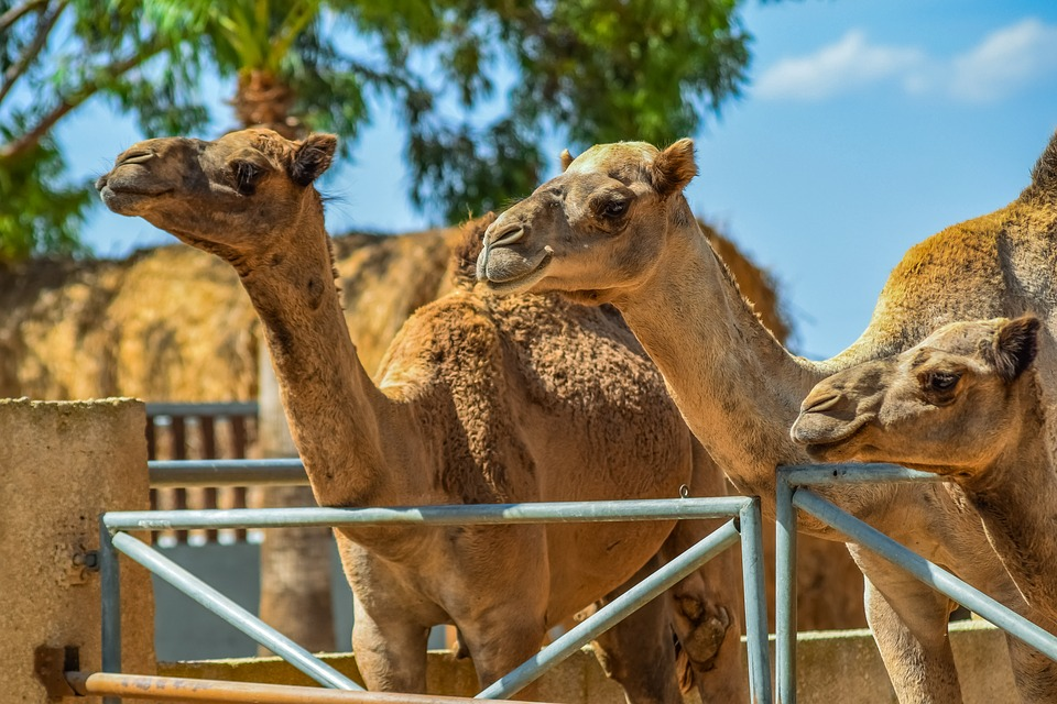 Camels, Head, Neck, Animal, Mammal, Nature, Camel Park