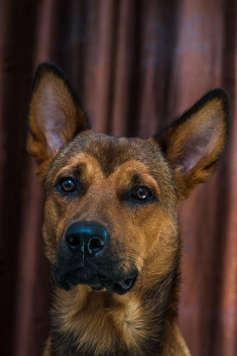 Dog, Puppy, Brown, Studio, Pet, Animal, Cute, Canine