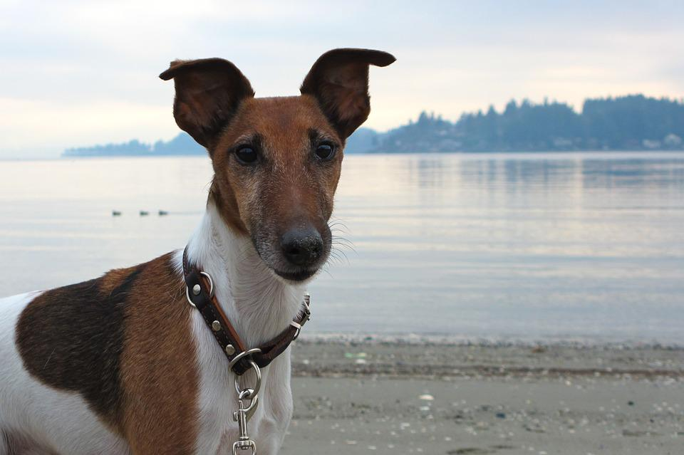 Dog, Smooth Fox Terrier, Terrier, Animal, Canine, Pet