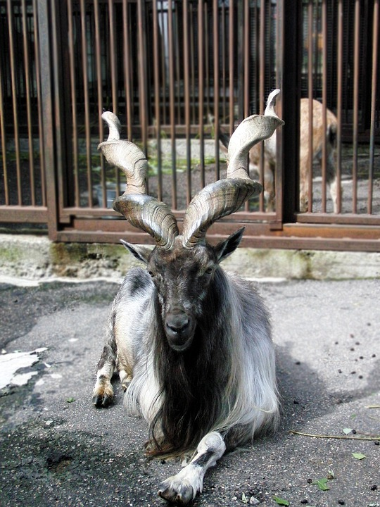 Markhor, Capra Falconeri, Goat, Ovis, Animal