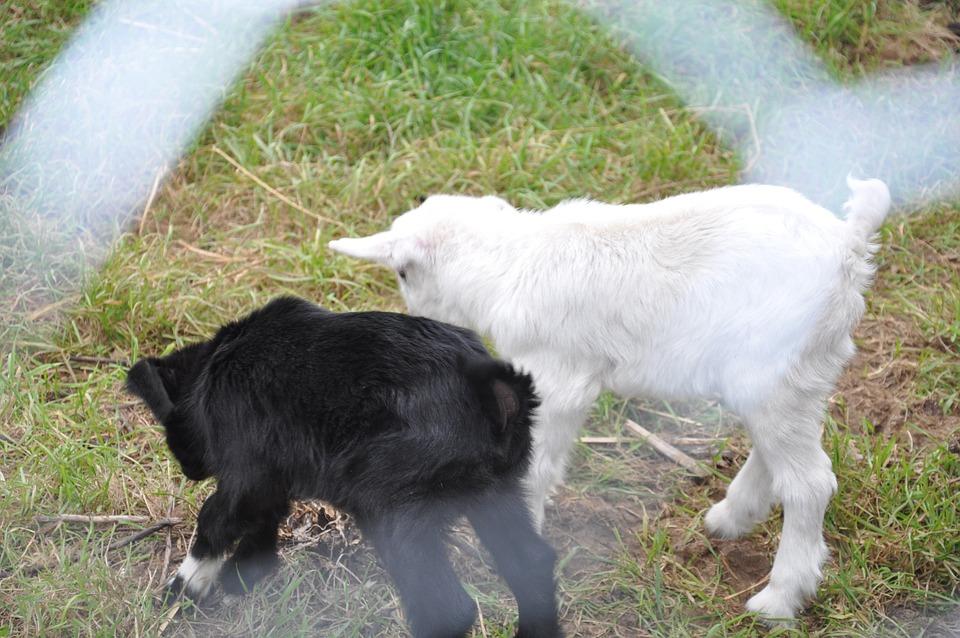 Farm, Capra, Animal