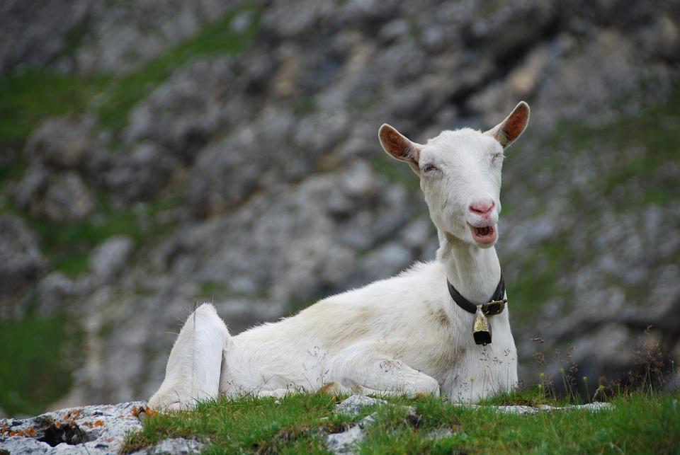 Capra, Mountain, Animal, Italy, Trentino, Nature