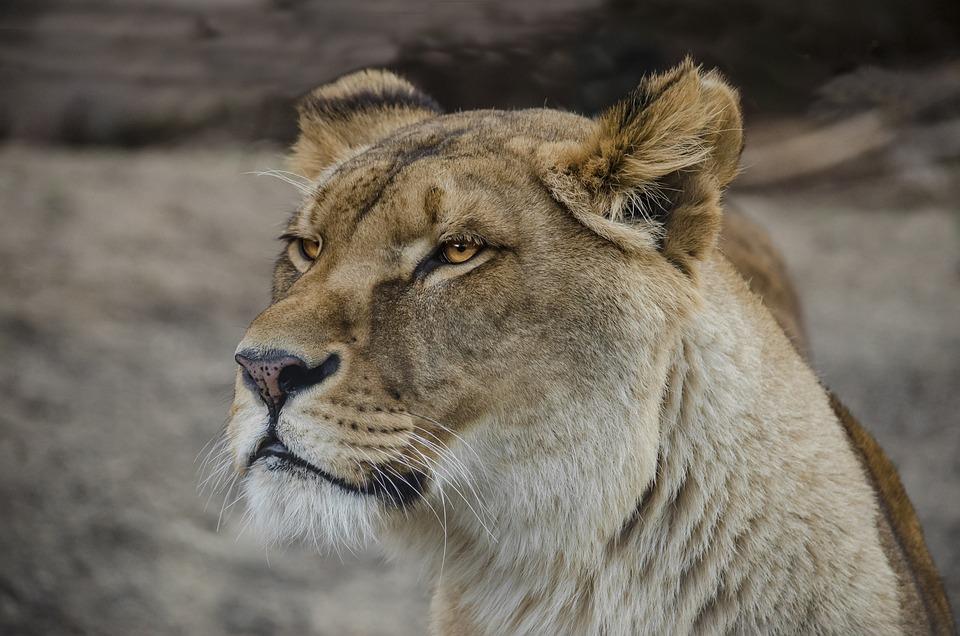 Animal World, Animal, Carnivores, Cat, Mammal, Big Cat