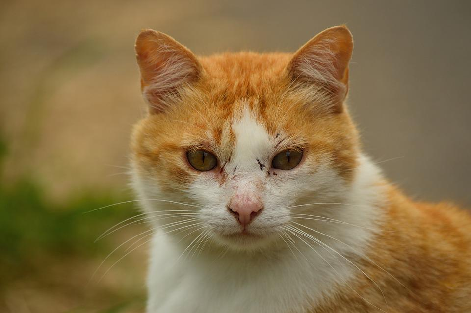 Cat, Blond, Ginger, Animal, Pet, Homeless