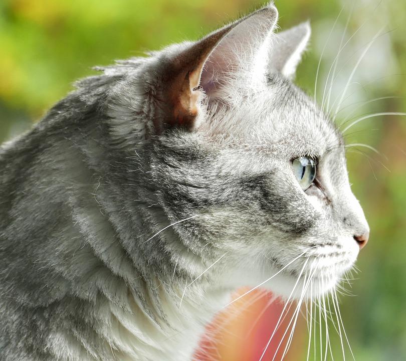 Animal, Cat, Cute, Fur