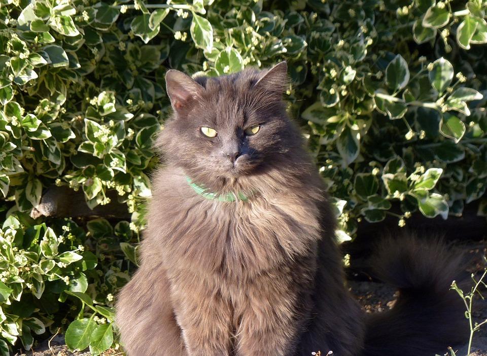 Animal, Feline, Cat, Long Haired, Domestic, Pet