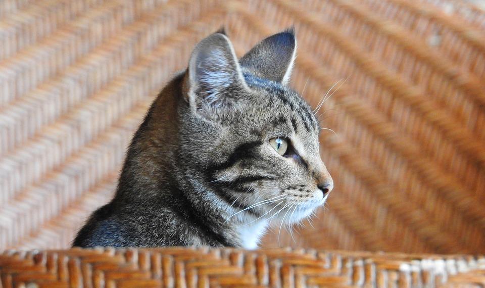 Animal, Cat, Pets, Feline