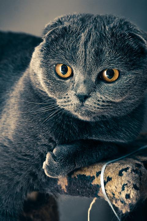 Scottish Fold, Cat, Pet, Face, Whiskers, Fur, Animal