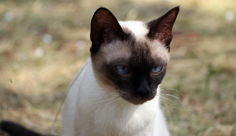 Humpy, Cat, Blue Eyes, Kitten, Animal, Cute, Kitty, Fur