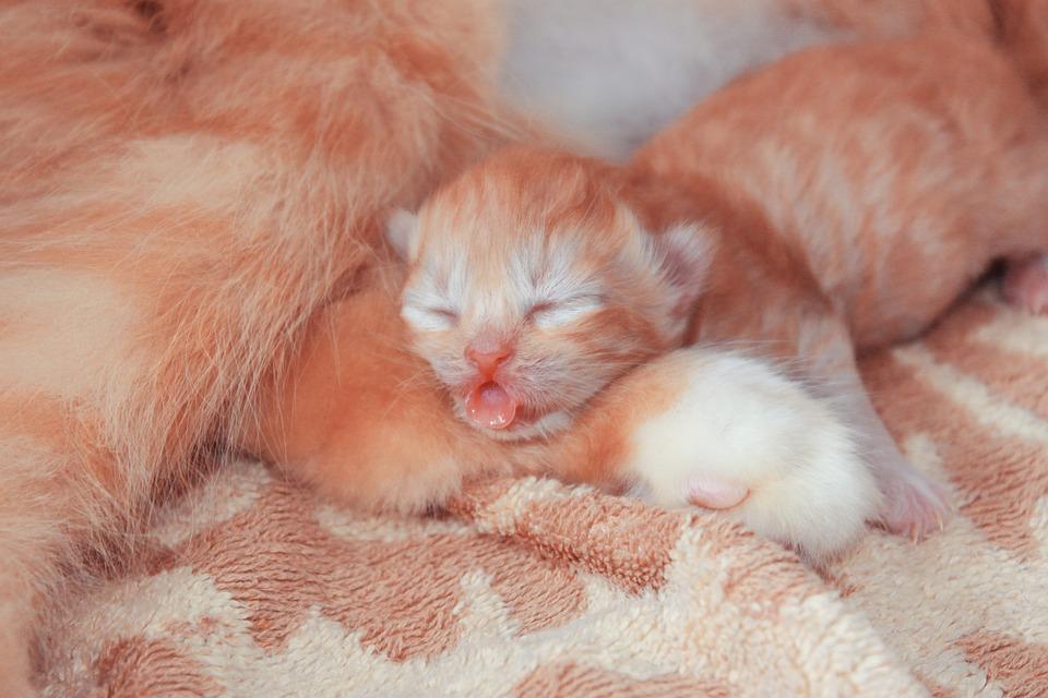 Free Photo Animal Cat Fur Pet Small Baby Cute Sweet Kitten Max Pixel