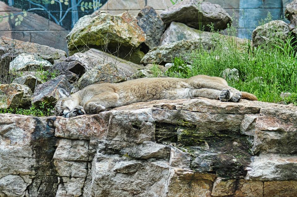 Lion, Puma, Wildlife, Animal, Nature, Cougar, Cat
