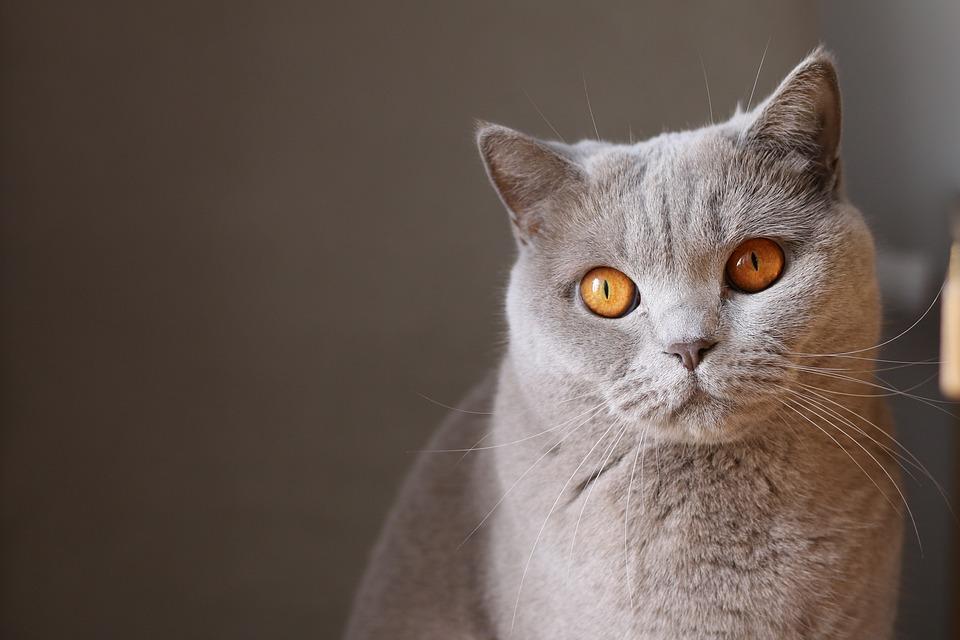 Animal, Cat, Close-up, Cute, Feline, Pet, Whiskers