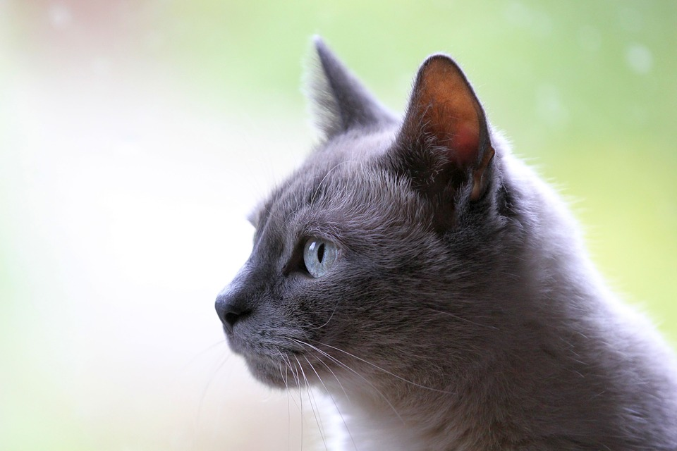 Cat, Pet, Animal, Grey
