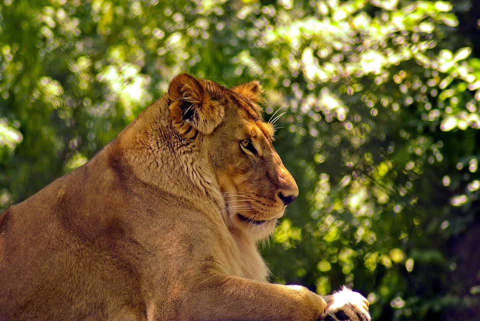 Lioness At Madison Zoo, Lion, Cat, Animal, Predator