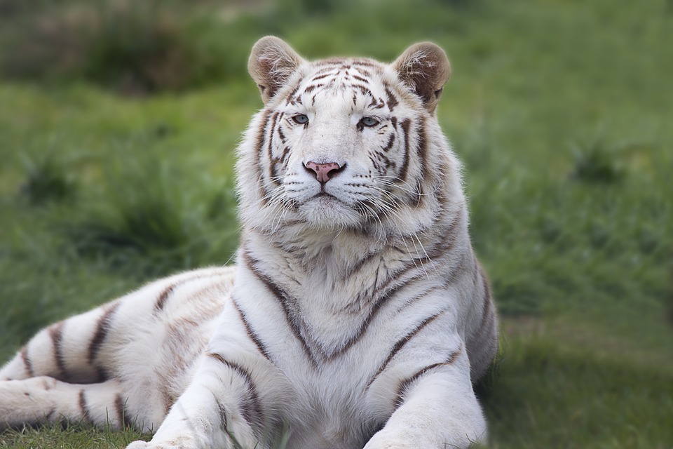 White, Bengal, Tiger, Animal, Wildlife, Cat, Nature