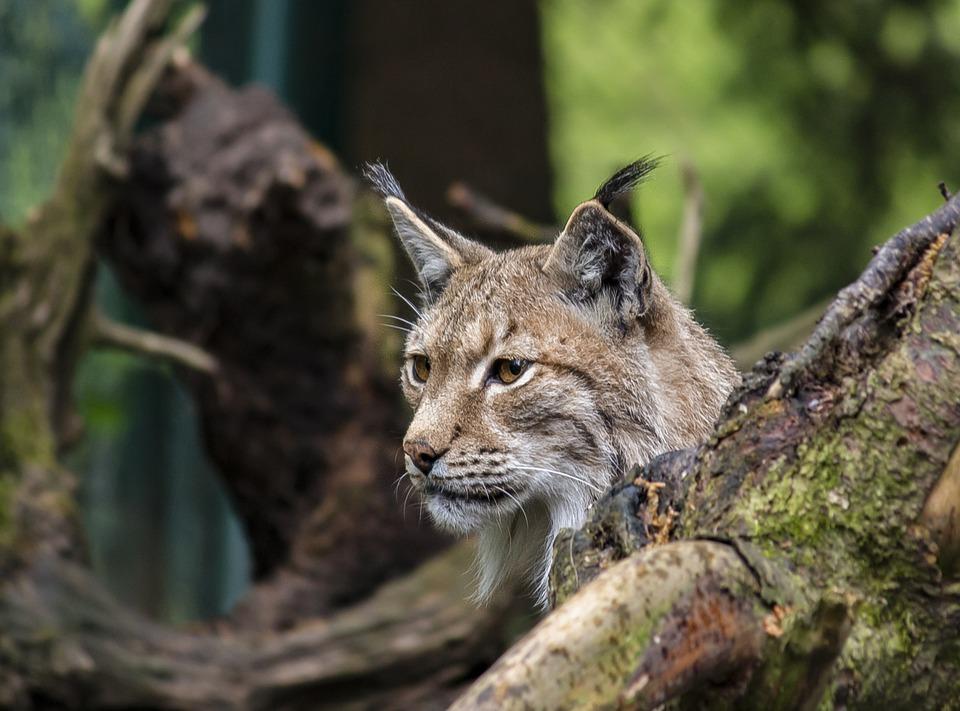 Lynx, Cat, Animal, Wild