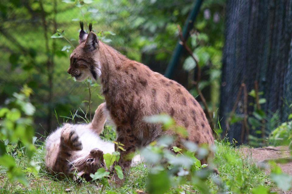 Lynx, Cat, Wildcat, Eurasischer Lynx, Predator, Animal
