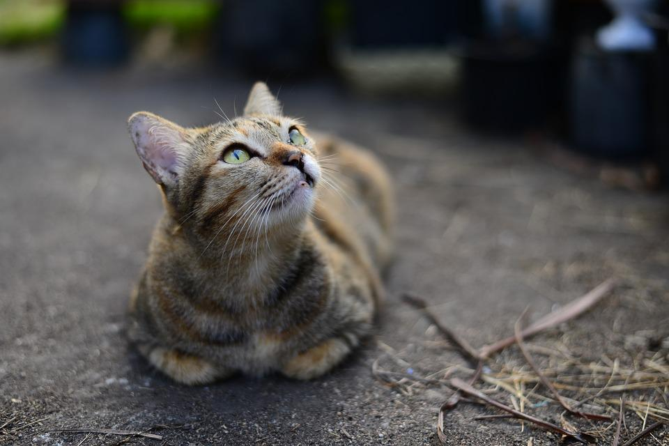 Tabby, Cat, Cute, Cats, Kitten, Pet, Animal, Young