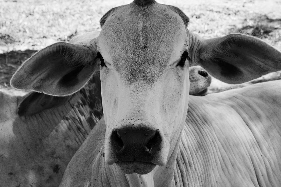 Cow, Animal, Cattle