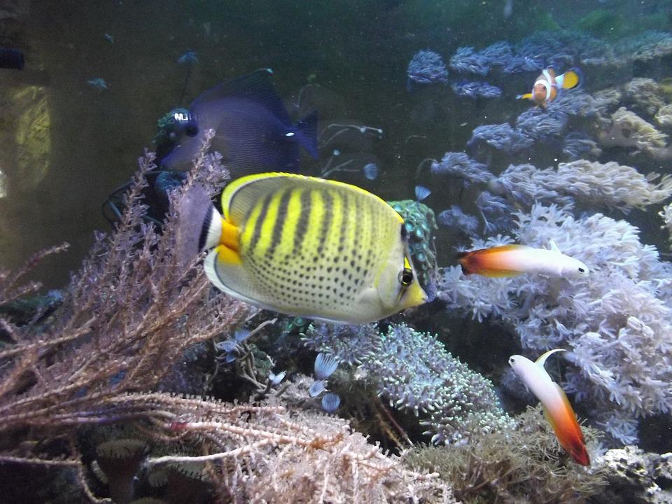 Fish, Aquarium, Animal, Butterfly Fish, Sea, Cay