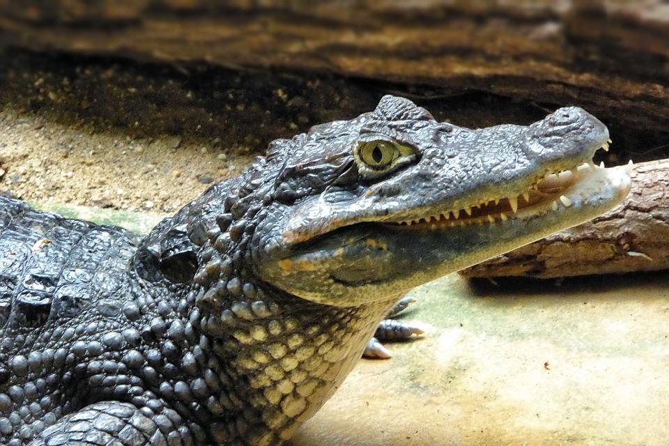 Cayman, Animal, Reptile
