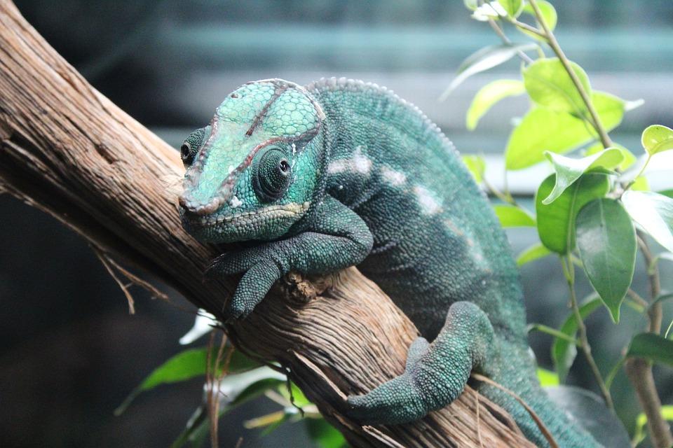 Chameleon, Green, Branch, Leaves, Reptile, Animal