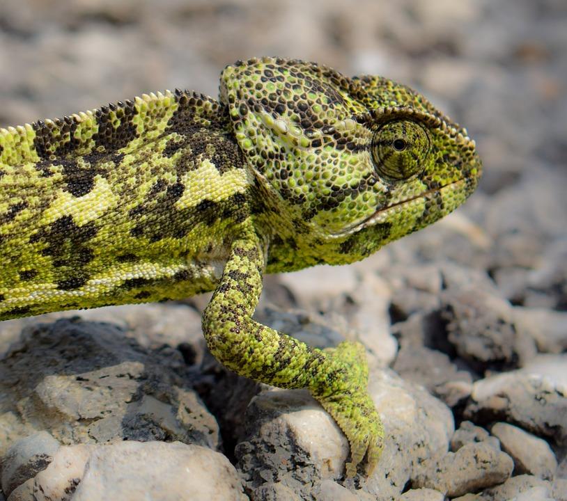 Chameleon, Animal, Nature, Reptile, Camouflage