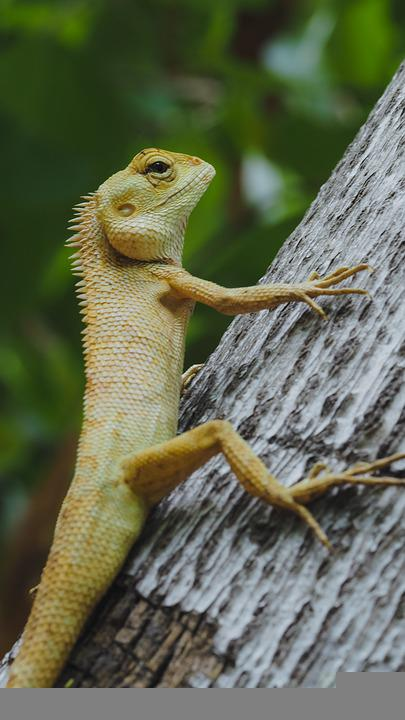 Chameleon, Animal, Reptile, Nature, Green, Animal World