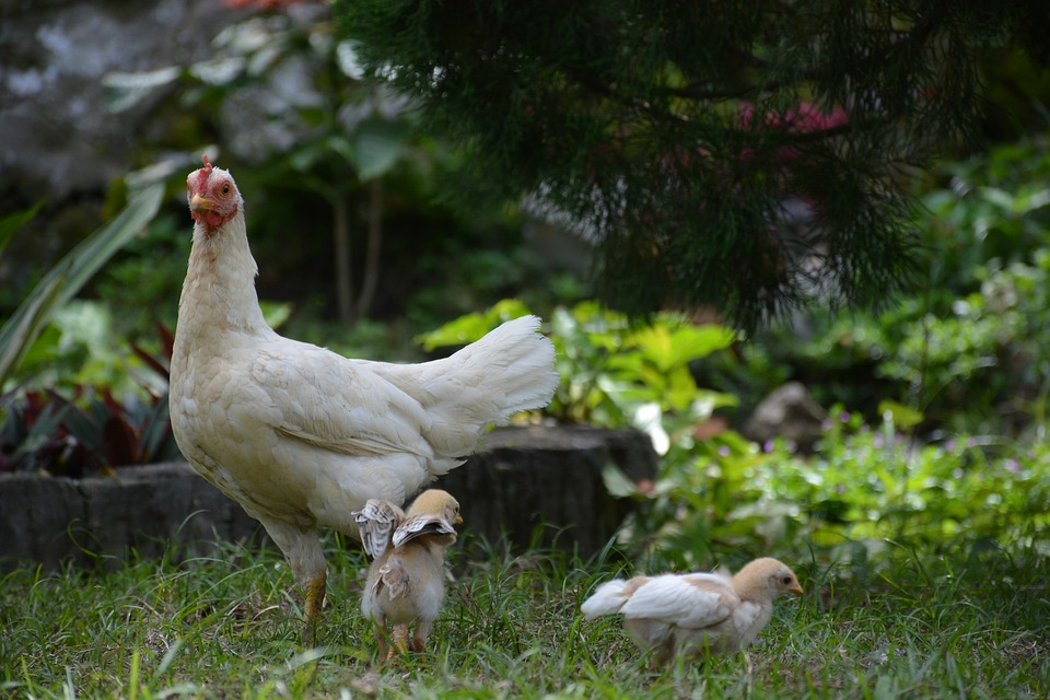 Animal, Animals, Chicken, Chick, Nature, Farm