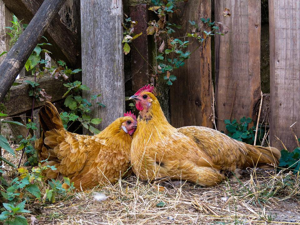 Animal, Chicken, Poultry, Farm, Hen, Free Range, Breed