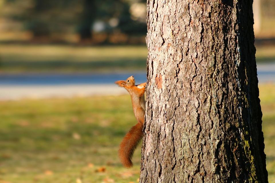 The Squirrel, Redheaded, Animal, Tree, Climb, Cute