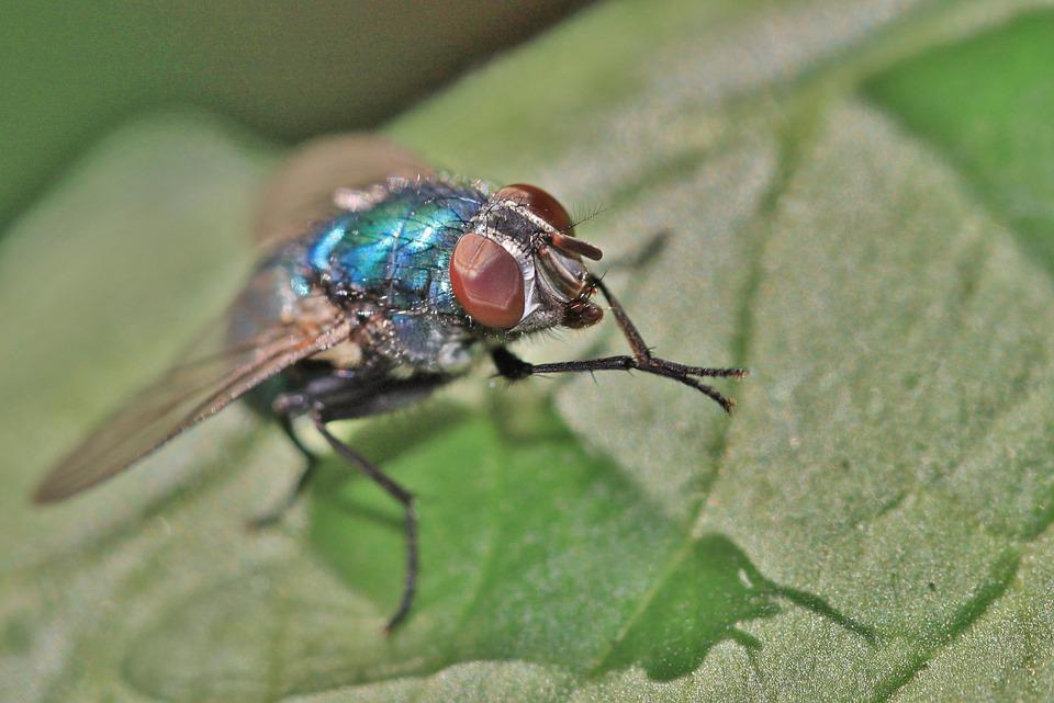 Fly, Insect, Animal, Leaf, Close, Nature, Macro, Head