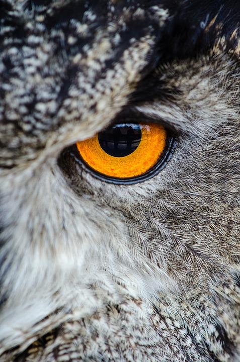 Animal, Owl, Bird, Close-up, Eye, Wildlife