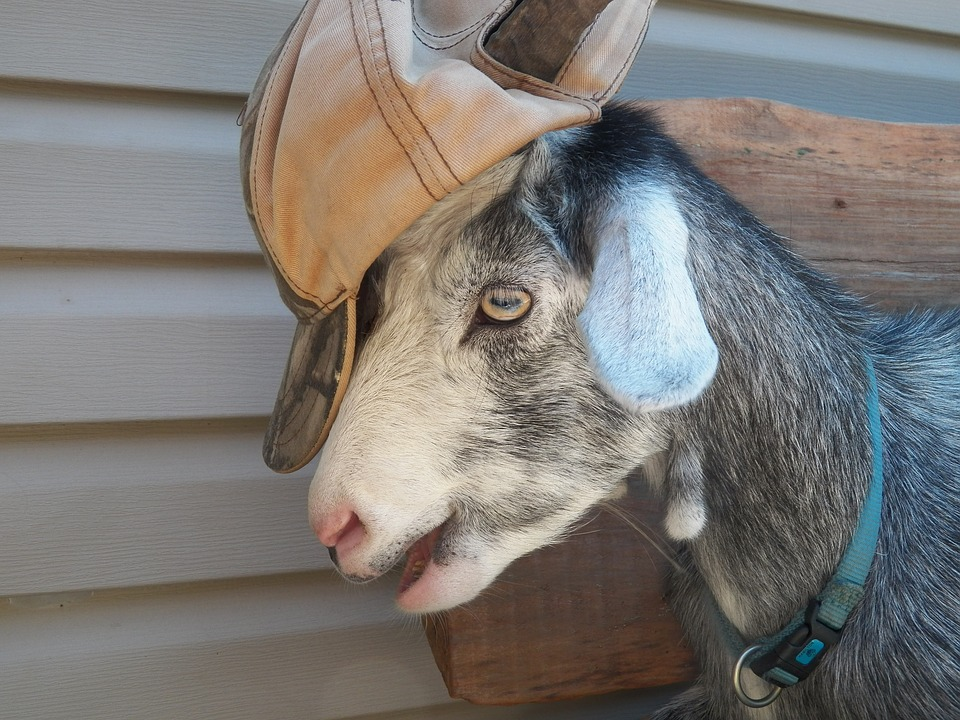 Goat, Baseball Hat, Collar, Farm Animal, Farm, Animal