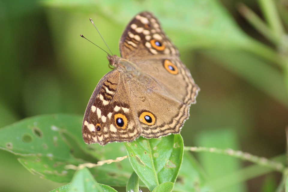 Butterfly, Nature, Wings, Brown, Animal, Colorful