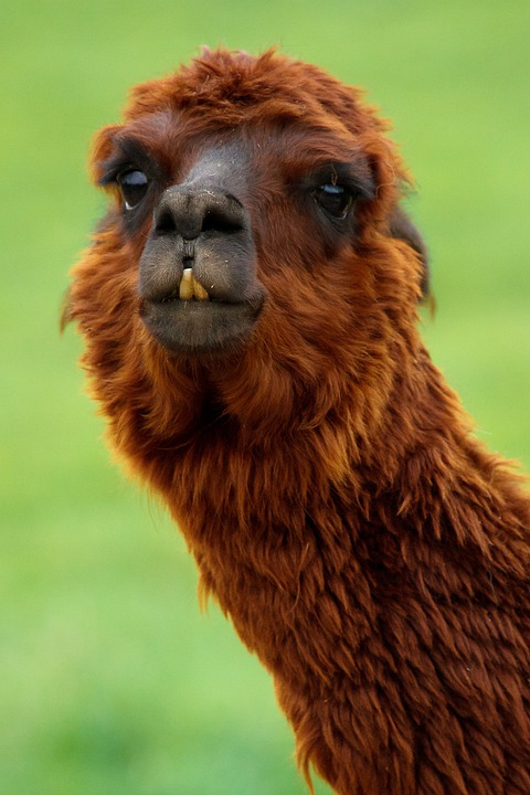 Alpaca, Animal, Brown, Comical, Curly, Fluffy, Funny